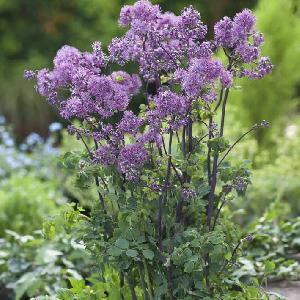 THALICTRUM purplelicious
