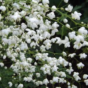 THALICTRUM 'Splendide White'