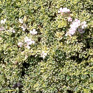 THYMUS 'Harlington Silver'