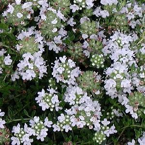 THYMUS praecox 'Albiflorus' (T. serpyllum 'Albus')
