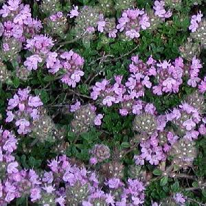 THYMUS praecox 'Minor'