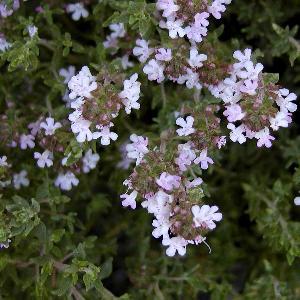 THYMUS vulgaris feuilles fines
