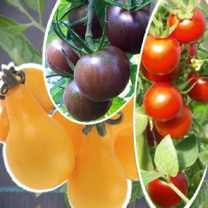 Trio de tomates cerises