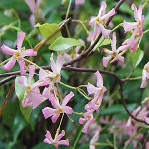 TRACHELOSPERMUM asiaticum 'Pink Showers'