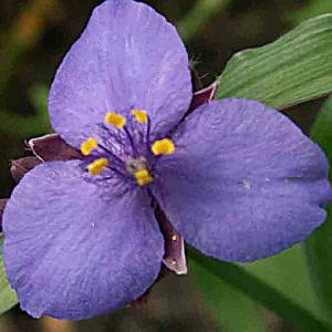 TRADESCANTIA 'Blue Stone' (Andersoniana Group)
