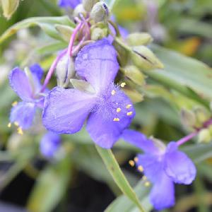 TRADESCANTIA 'Zwanenburg Blue' (Andersoniana Group
