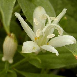 TRICYRTIS 'WhiteTowers' (T. latifolia)