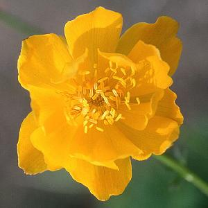 TROLLIUS 'Empire Day'