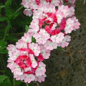 VERBENA 'Pink Parfait'