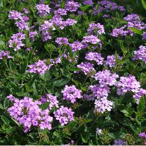 VERBENA 'Seabrook's Lavender' ®