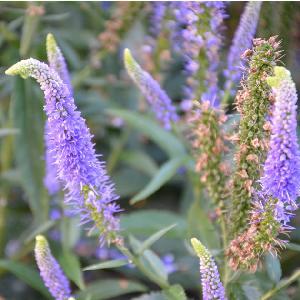 VERONICA longifolia 'First Glory'