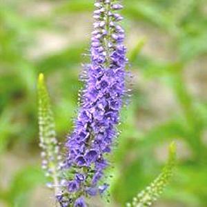 VERONICA longifolia (exaltata)