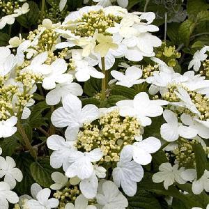 VIBURNUM plicatum 'Snowflake'