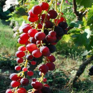 Vigne de table (Cardinal)