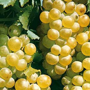 Vigne de table 'Chasselas Doré'