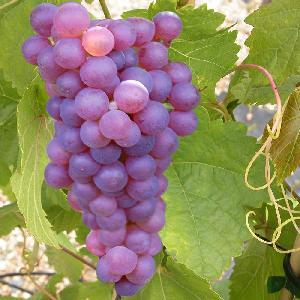 Vigne de table 'Chasselas Rosé'