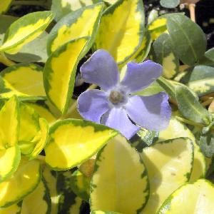 VINCA minor 'Illumination'