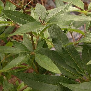 VITEX agnus-castus var. latifolia