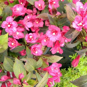 WEIGELA 'Overdam Mini'