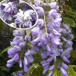 WISTERIA floribunda 'Violacea Plena'